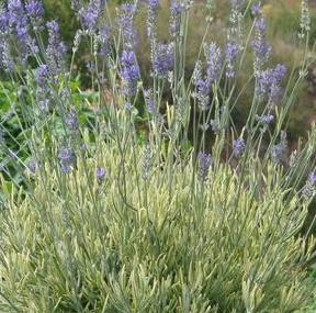 Tips For Growing Fragrant Lavender