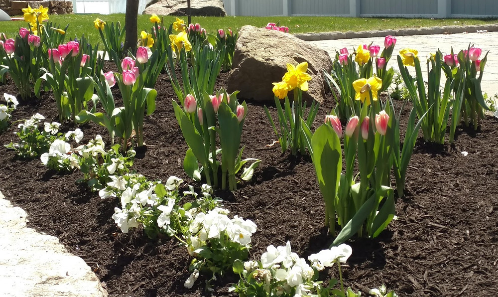 Cold weather pansies and spring bulbs