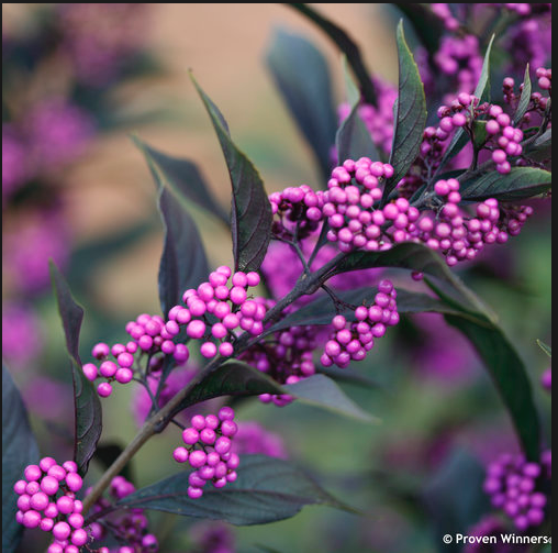 Pearl Glam Beauty Berry