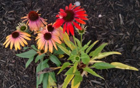 Long Blooming Echinacea