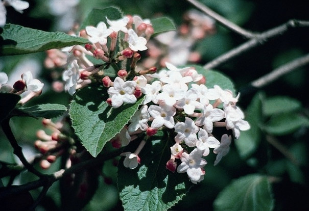 Korean Spice Viburnum is an early spring blooming shrub that is also very fragrant!