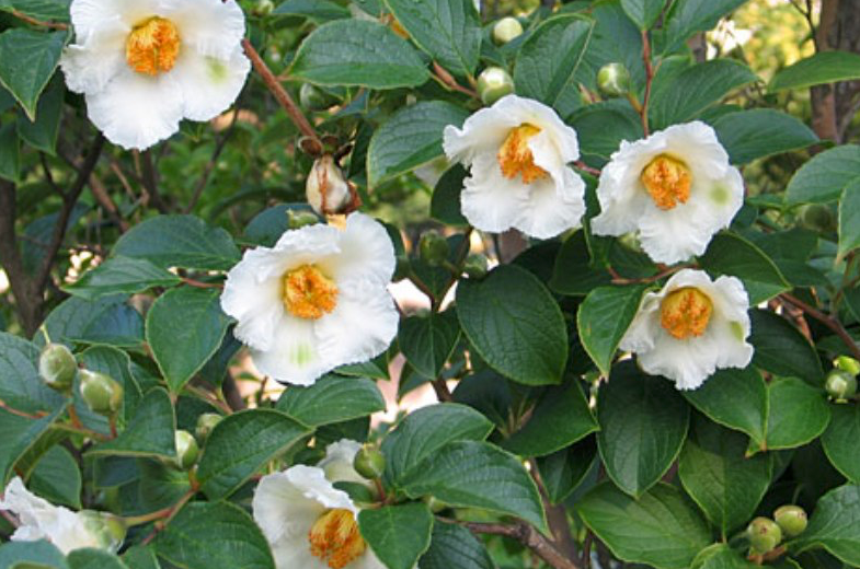 Japanese Stewartia
