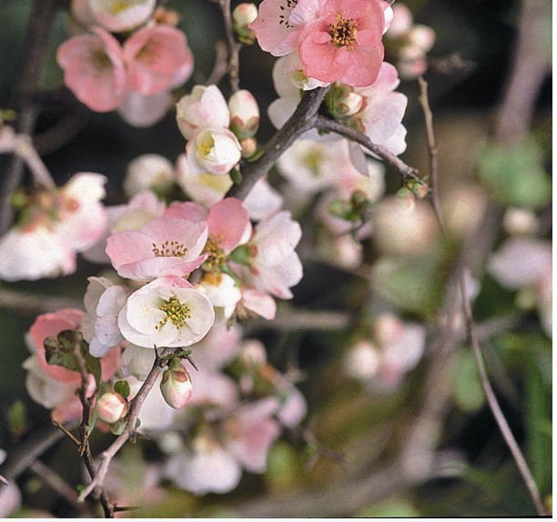 Flowering Quince is an early spring blooming shrub