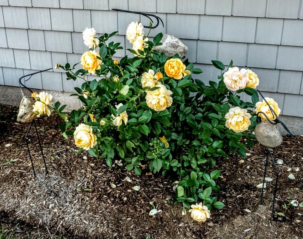 Roses require frequent fertilizer