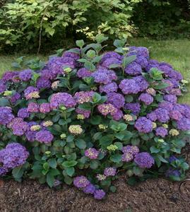 Hydrangea Macrophylla or Mophead Hydrangea