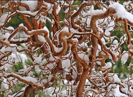 Guide to Plants With Winter Interest.  Part 2: Woody Ornamentals
