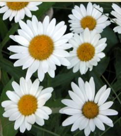 Shasta Daisy 'Brightside'