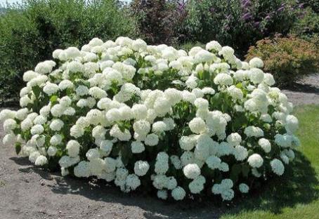 Choosing Hydrangeas Part II. Smooth Hydrangeas and Mountain Hydrangeas
