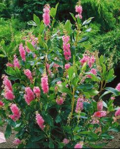 Clethra 'Ruby Spice' courtesy of Cochato nursery