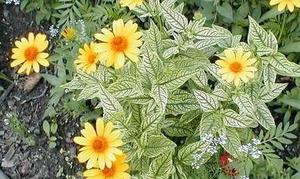 Sunflower Lorraine Sunshine