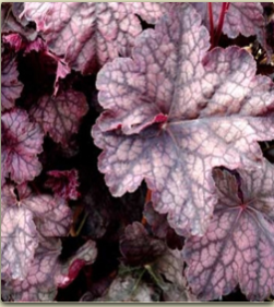 Coral Bells 'Velvet Night'