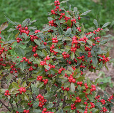 Winterberry Holly Courtesy of Proven Winners