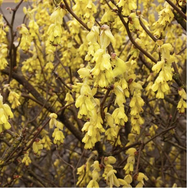 Early spring blooming Spike Winterhazel has buttercup yellow flowers