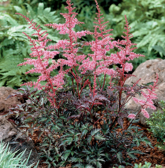 Astilbe 'Key West'