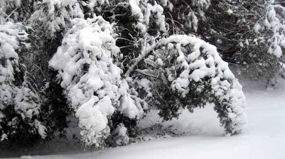 A Conifer Branch Bent Over With Heavy Wet Snow