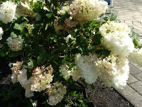 10 Long Blooming Shrubs For Summer