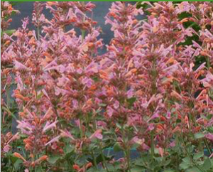 Fragrant perennial Agastache 'Kudos Ambrosia;. Photo courtesy of Prides Corner Farms