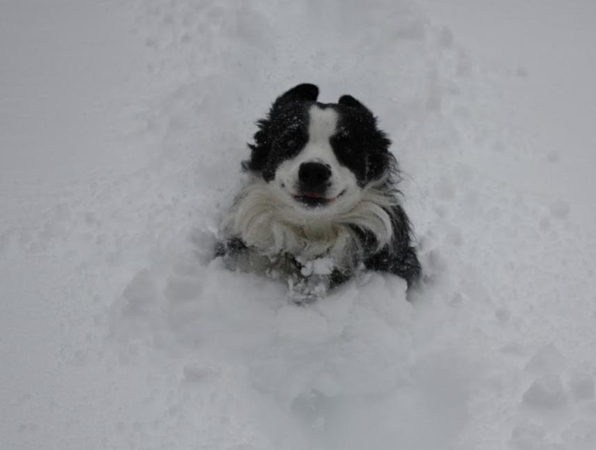 Jupiter our Border Collie loving the snow!!