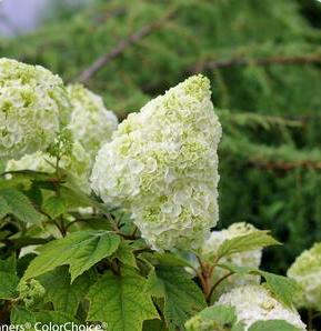 Choosing Hydrangeas Part III. Oakleaf Hydrangeas, Panicle Hydrangeas and Climbing Hydrangeas.