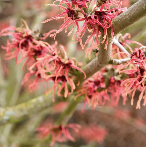 A native, spring blooming shrub