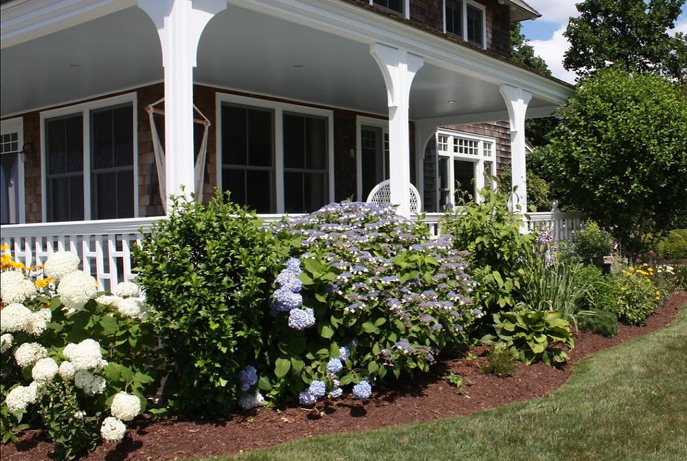 Beautiful Hydrangeas in Old Saybrook, CT