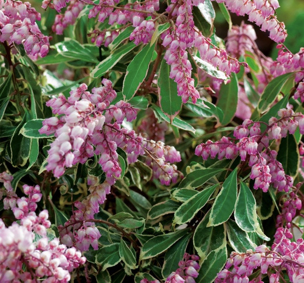 Andromeda is an early spring blooming shrub that is not only evergreen, but deer resistant as well
