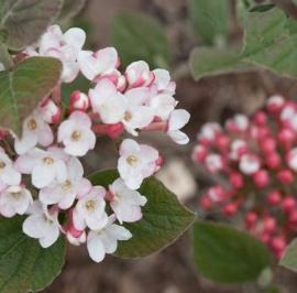 Fragrant Korean Spice Viburnum in the landscape