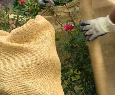 Shrubs wrapped in burlap for winter