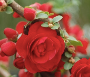 Flowering Quince 'Double Take Scarlet' Courtesy of Pride's Corner Farms