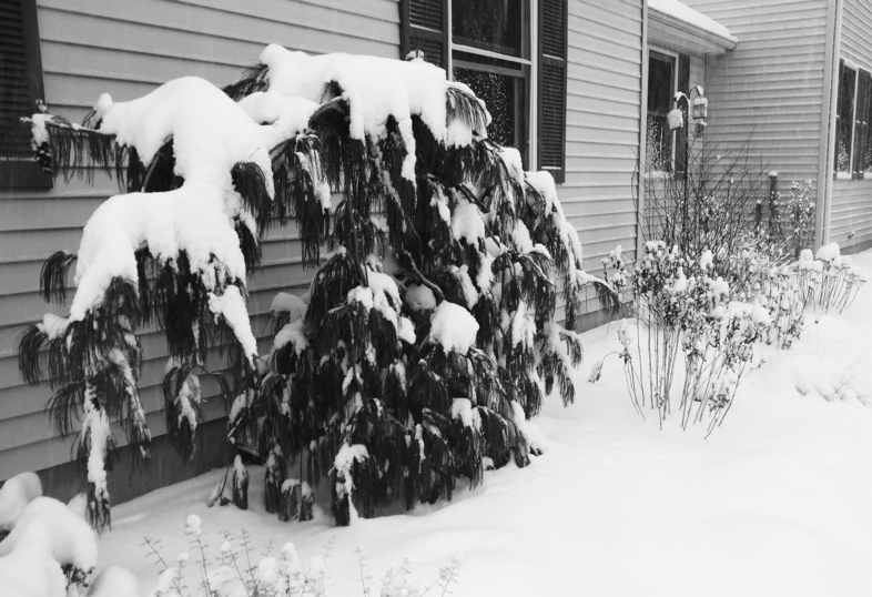 Weeping White Pine In Snow