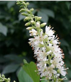 Fragrant shrub Summersweet Pepperbush