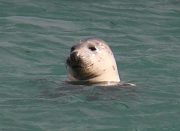 Seal  in Unst