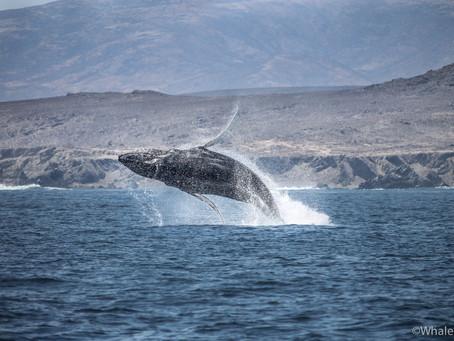 Ballenas: Gigantes del Mar.