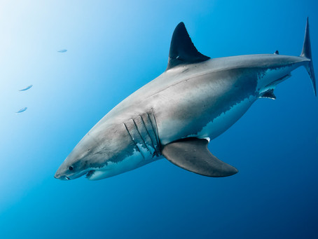 Marine Science & public safety in coastal areas: White Sharks and S. California.