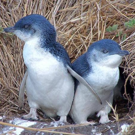 Pingüinos y ecoturismo: cómo la ciencia genera conocimiento al servicio de las comunidades.