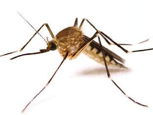 Mosquito-anopheles2.jpg