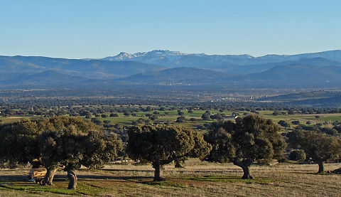 Open holm oak woodland and Sierra de Gredos mountains in the background
