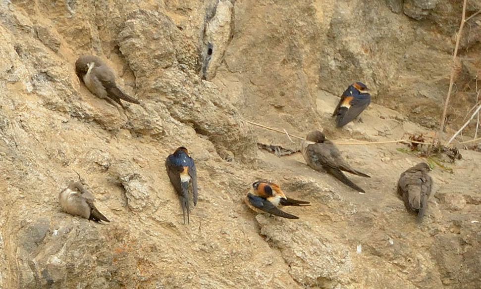 Crag martins & Red-rumped swallows