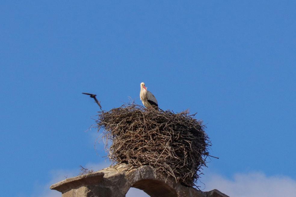 White Stork Cigüeña blanca