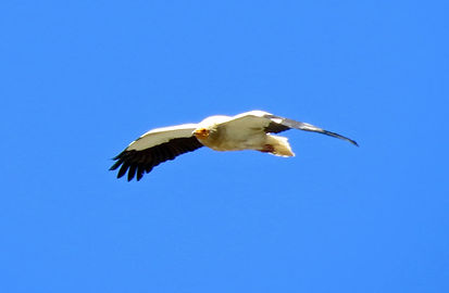 Egyptian-vulture-(2).jpg