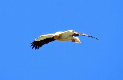 Egyptian-vulture-(2).jpg