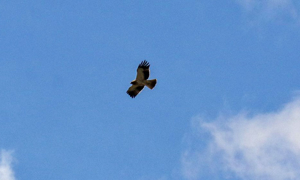 Booted eagle Águila calzada