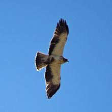 Águila calzada con presa