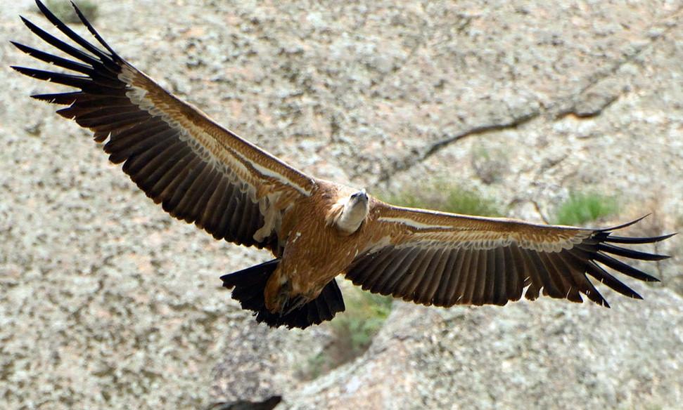 Griffon vulture Buitre leonado