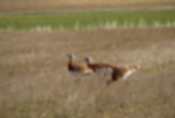 Great-bustard.jpg