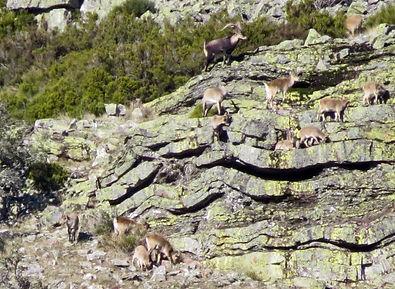 Spanish ibex Cabra montés