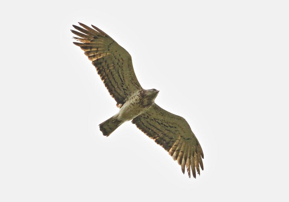 Short-toed eagle Culebrera