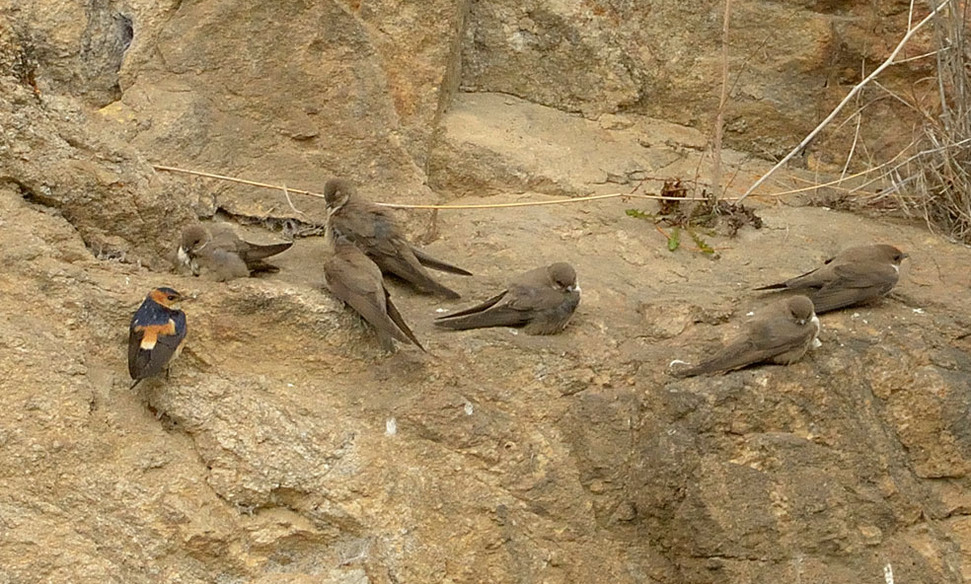 Crag martins & Red-rumped swallow
