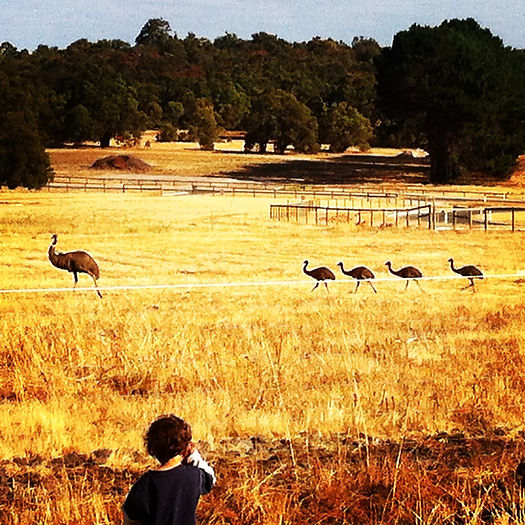 Elijah in the backyard, pondering where the baby emus came from!