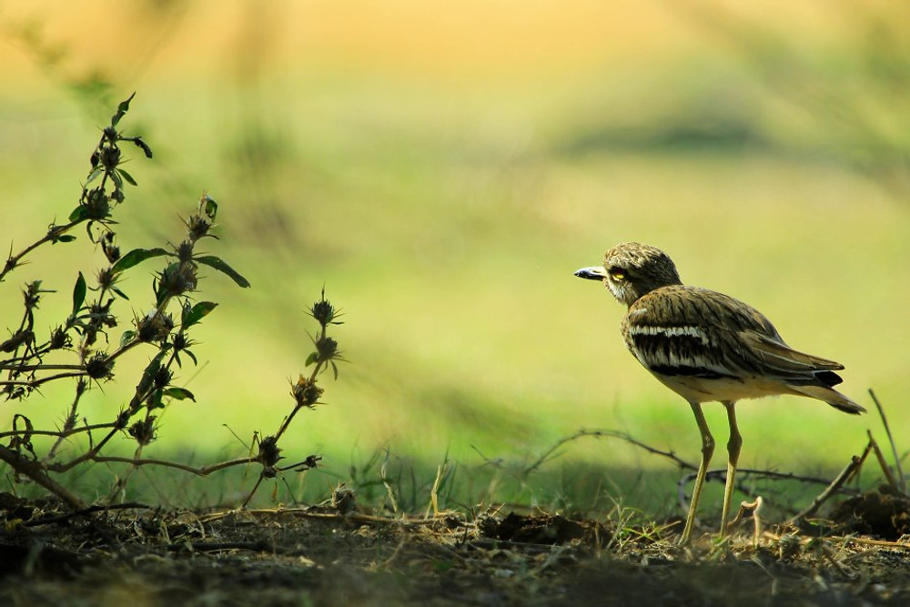 Thick-knee-rohit-pansare--photography
